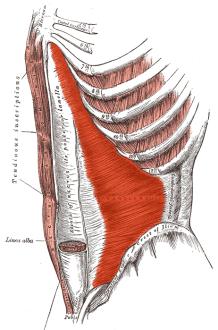 syvä vatsalihas tunnetaan myös nimellä poikittainen vatsalihas