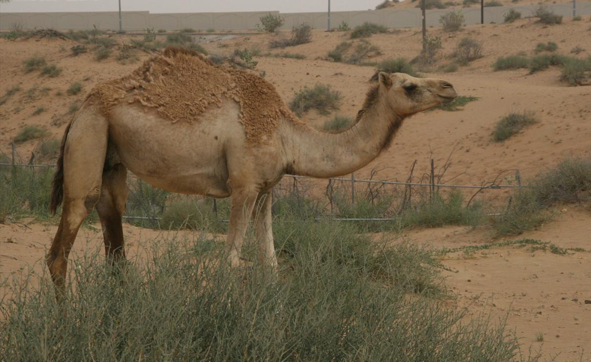 Image result for camels