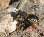 Große Wollbiene (Anthidium manicatum), Männchen