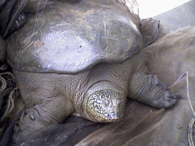 Yangtze gigante swinhoei tartaruga soft-shell Rafetus