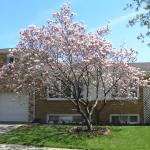 File Saucer Magnolia Tree Jpg Wikimedia Commons