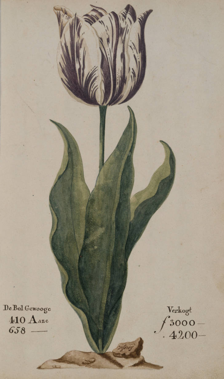 "A tulip, known as ""the Viceroy"", displayed in a 1637 Dutch catalog."