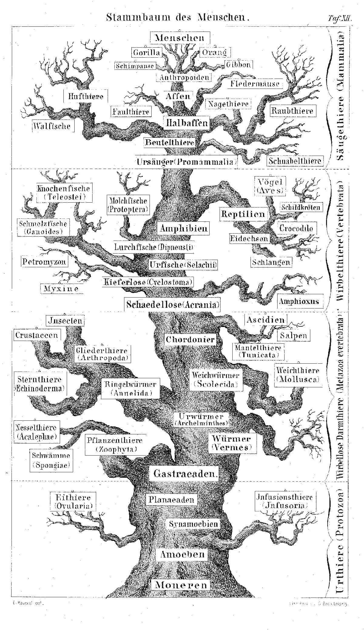 File Pedigree Of Man Haeckel
