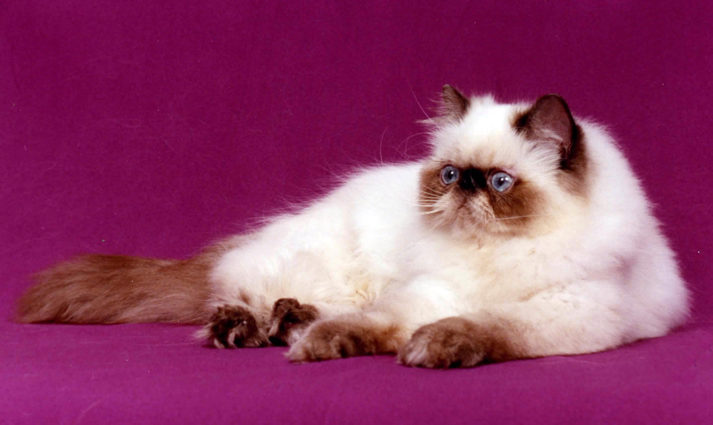 قط الهيمالايا ويكيبيديا