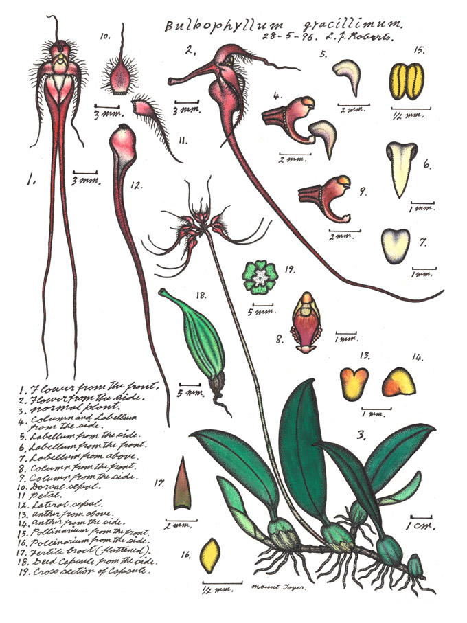 Botanical illustration of Cirrhopetalum gracillimum or Wispy Umbrella Orchid
