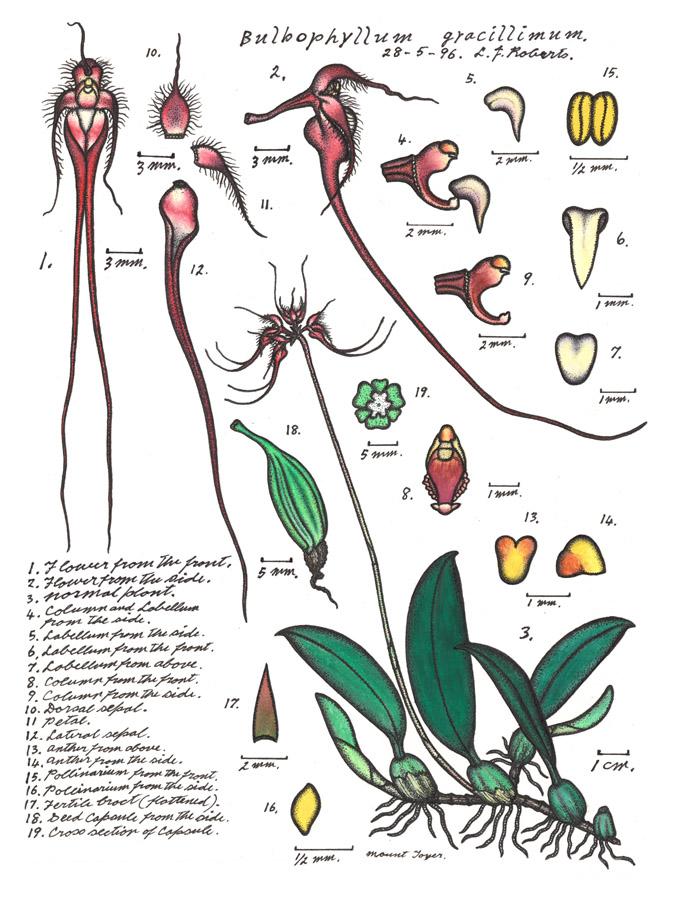 Botanical illustration of Cirrhopetalum gracillimum or Wispy Umbrella Orchid