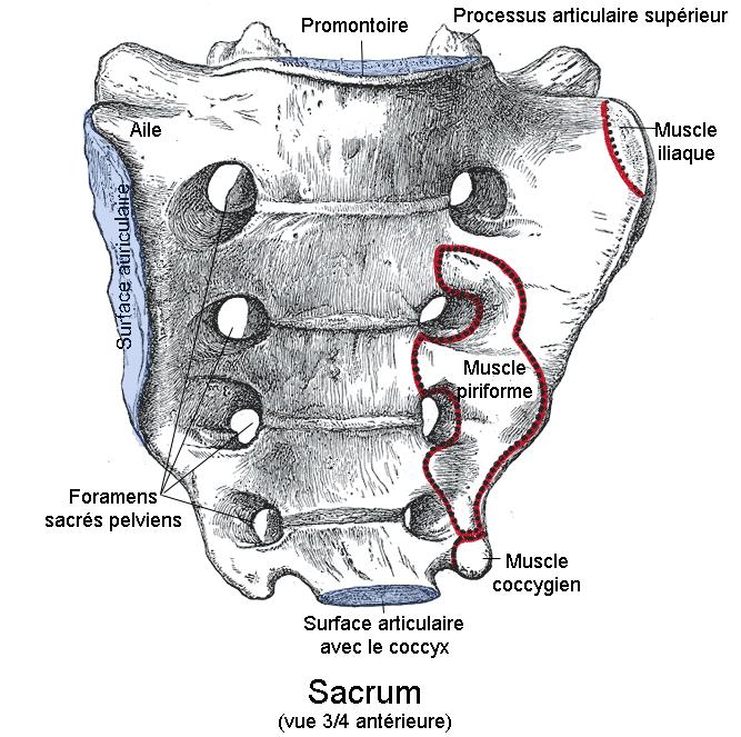 Sacrum. Vue antérieure. - Berichard — travail personnel d'après Gray's Anatomy public - Wikimedia Commons