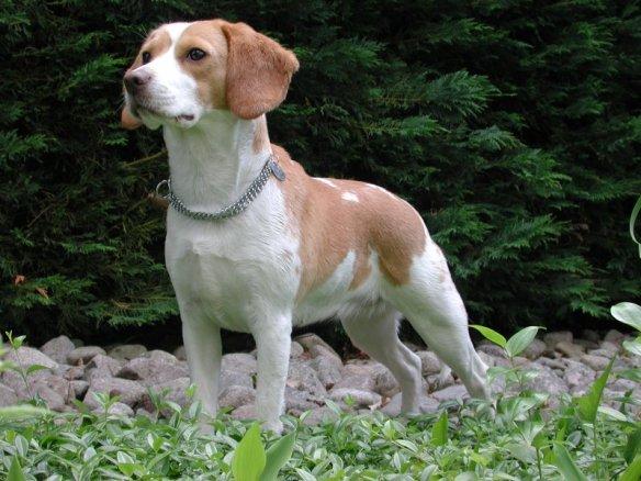 beagle_dog_breeds_great_for_seniors_dogdojo