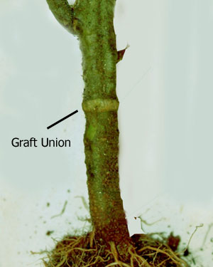 English: Grafted tomato plants should be plant...
