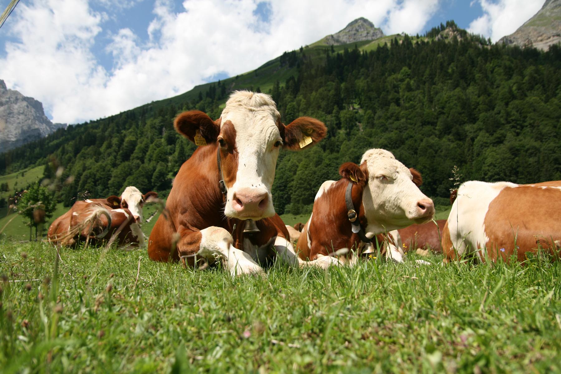 Bovini di razza Simmental al pascolo in Svizzera. Fotografia di Richard Bartz, Creative Commons Attribution ShareAlike 2.5.