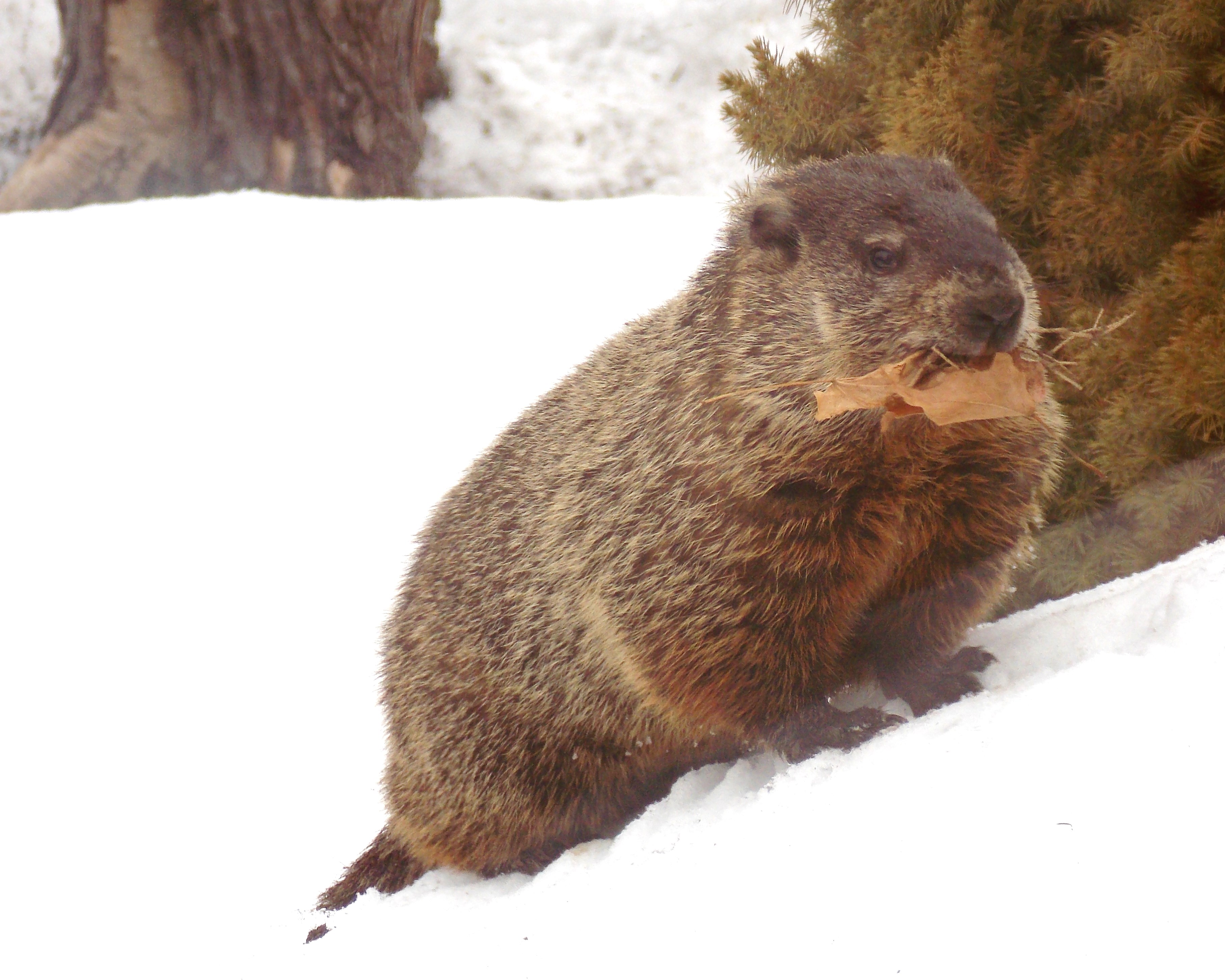 File Emerged From Hibernation In February Groundhog Takes