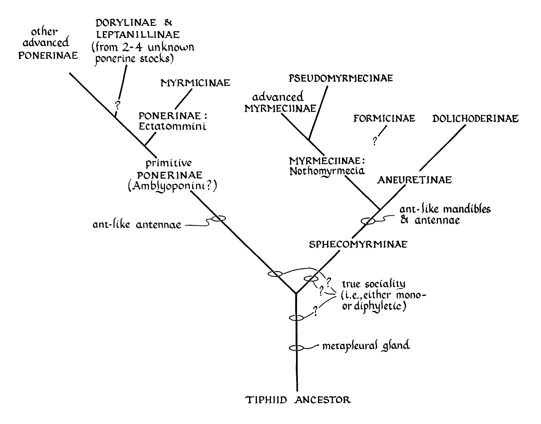 File Formicidae Hypothetical Cladogram Wilson Carpenter