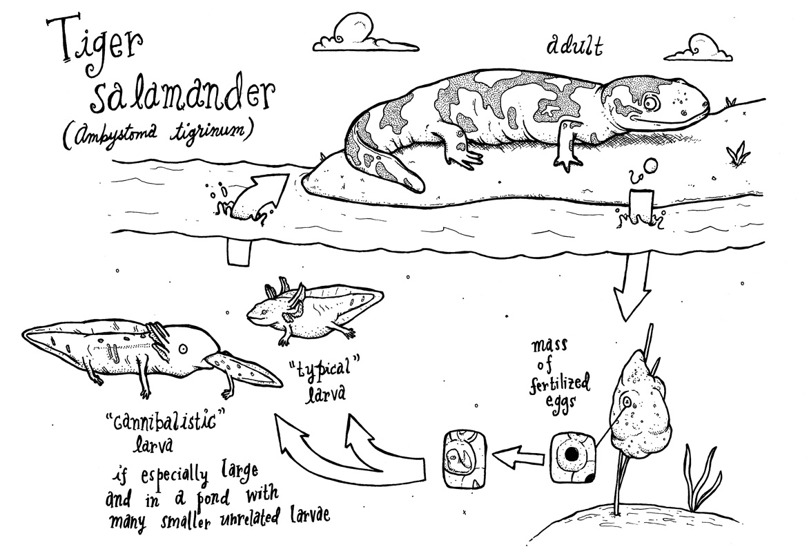 File Tiger Salamander Cycle