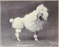 Toy Poodle from 1915