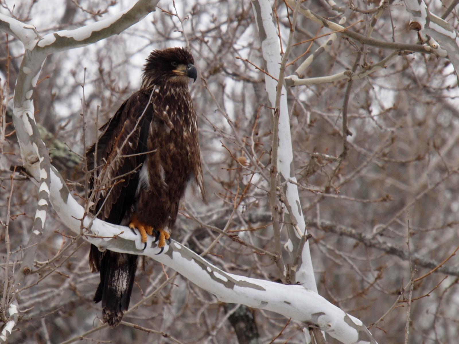 Immature Bald Eagle (Ken Thomas via Wikimedia Commons)