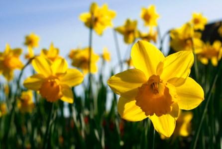 Blooming yellow daffodils