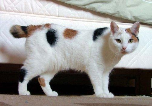 Risultati immagini per harlequin cat