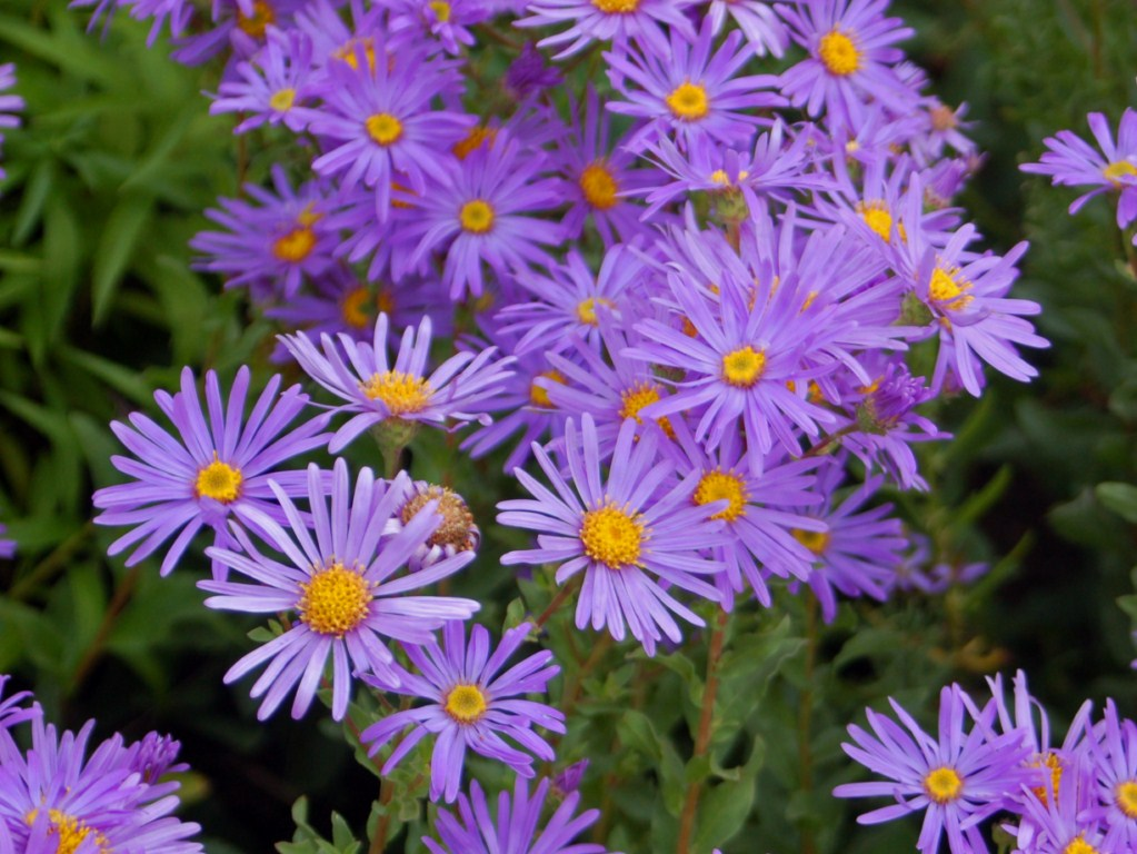 Asters, courtesty wikimedia.org. Photographer Ettore Balocchi