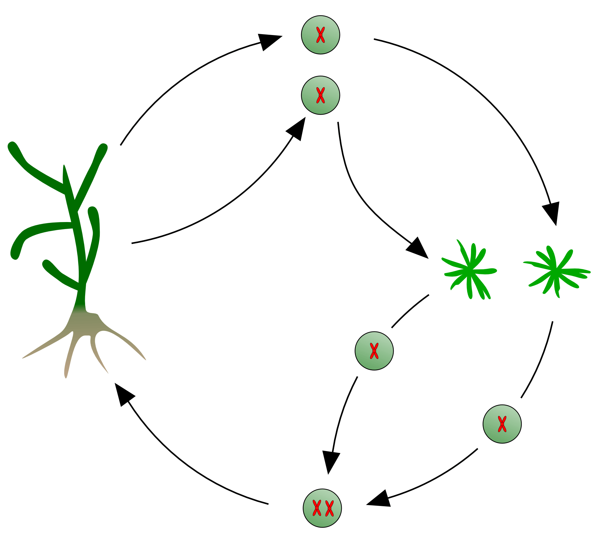 File Kelp Life Cycle