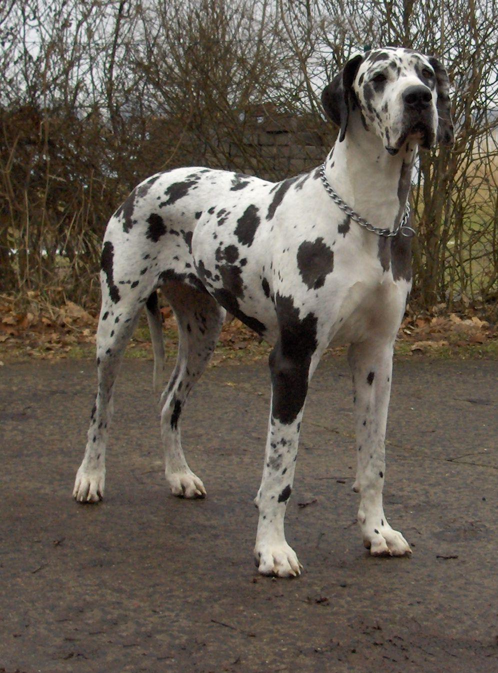 Black White And Mix Dalmatian Dane