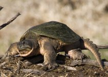 Common Snapping Turtle 1429