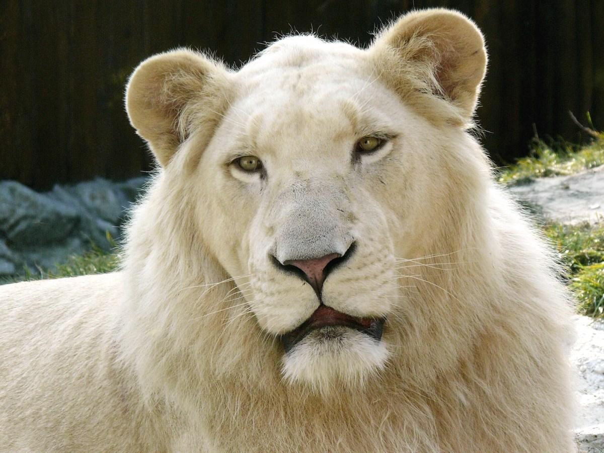 White Lion - Bratislava Zoo, Slovakia.