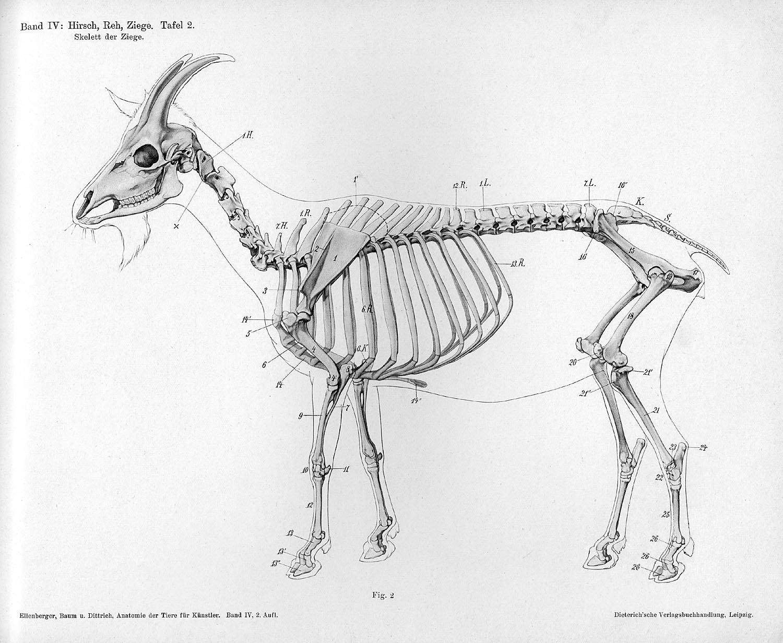 Dorable Deer Skeletal Anatomy Ensign - Human Anatomy Images ...