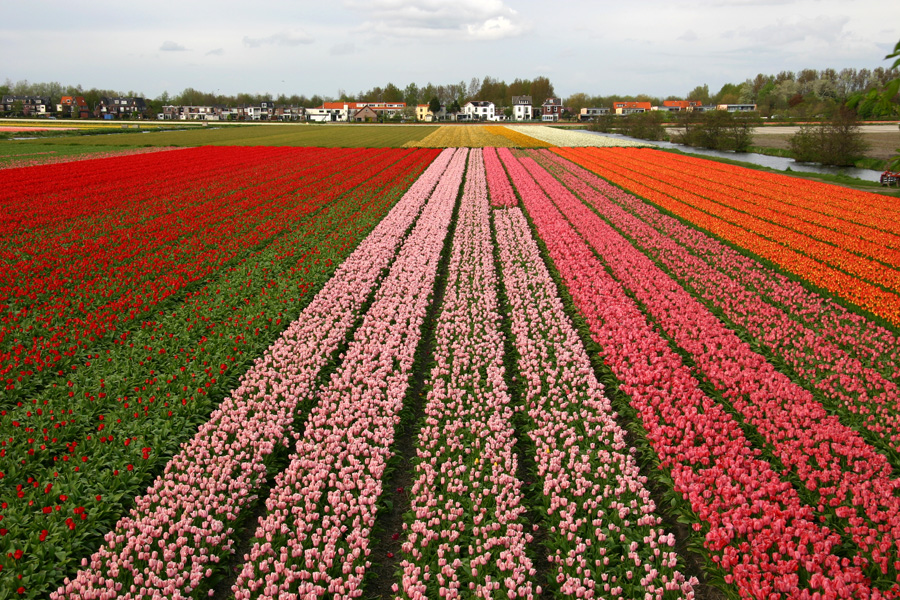 English: Cultivations of Tulips in South Holla...