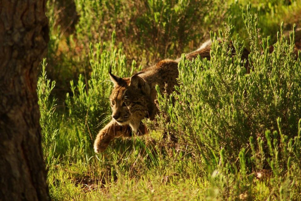 Lynx Pardinus Wiktionary