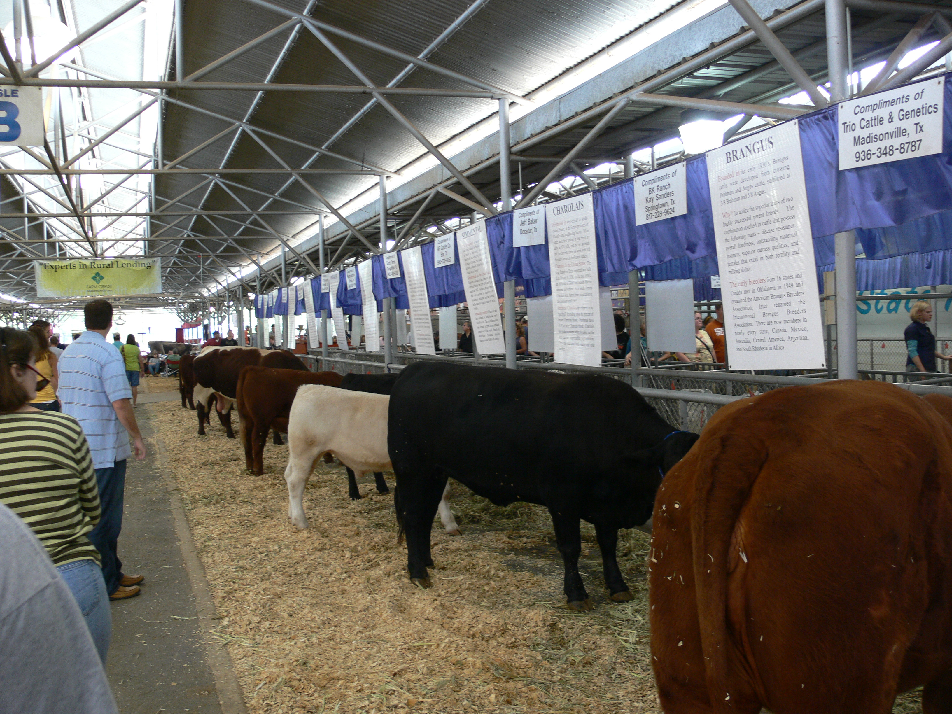 Cattle at Texas State Fair