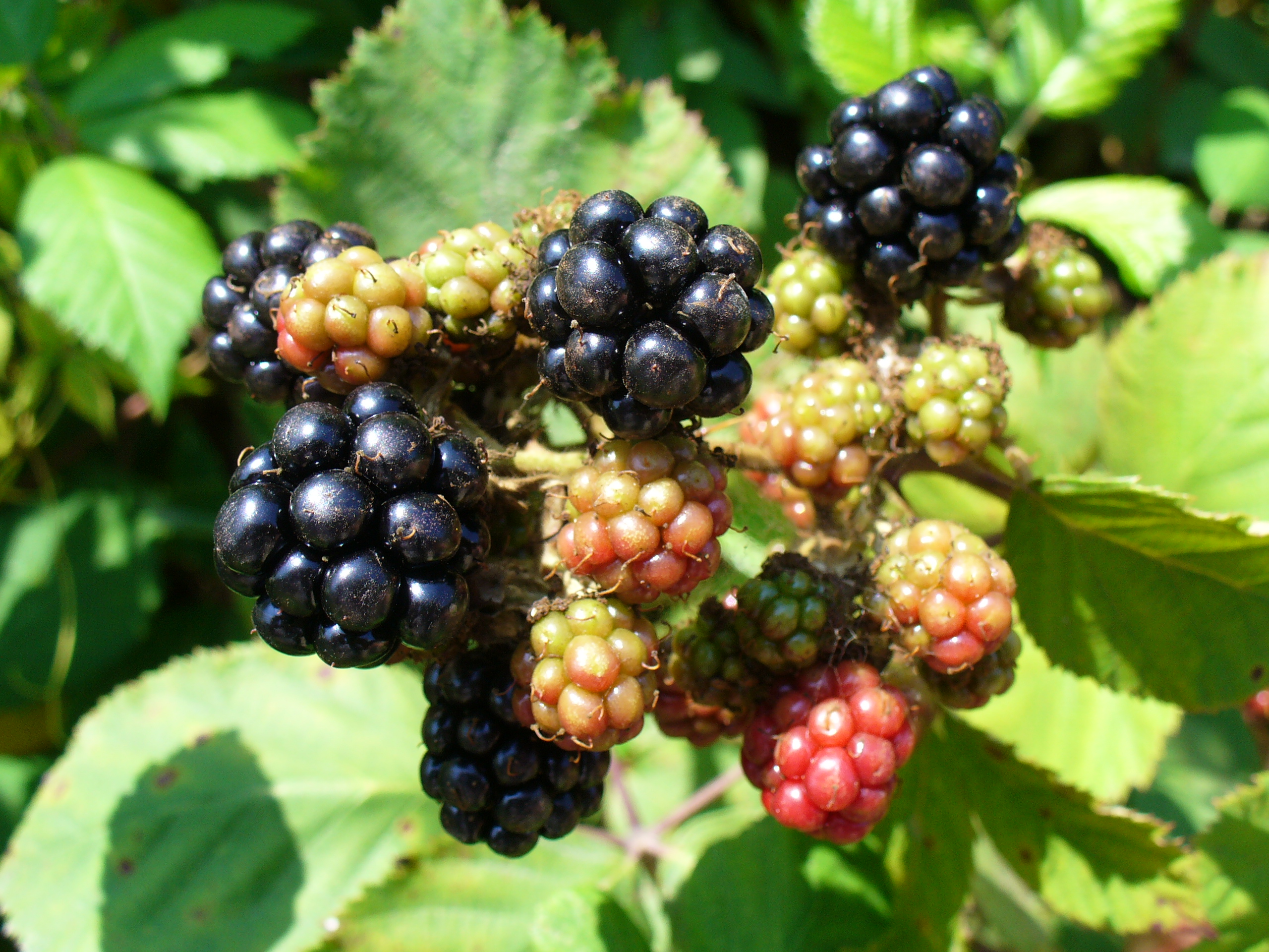 A clump of blackberries, some ripe, some not.