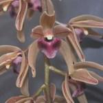 Orchidee Cymbidium devonianum