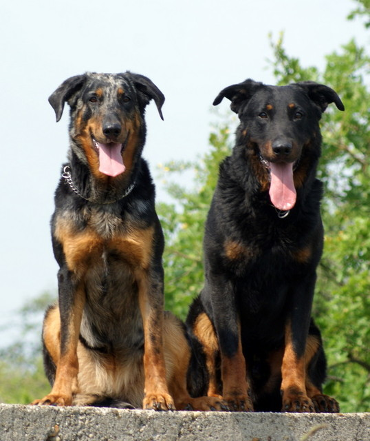 Beaucerons Pitbull Dog Black