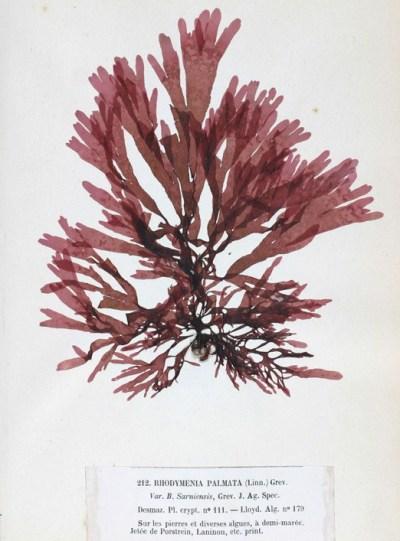 Palmaria palmata - Wikipedia, la enciclopedia libre