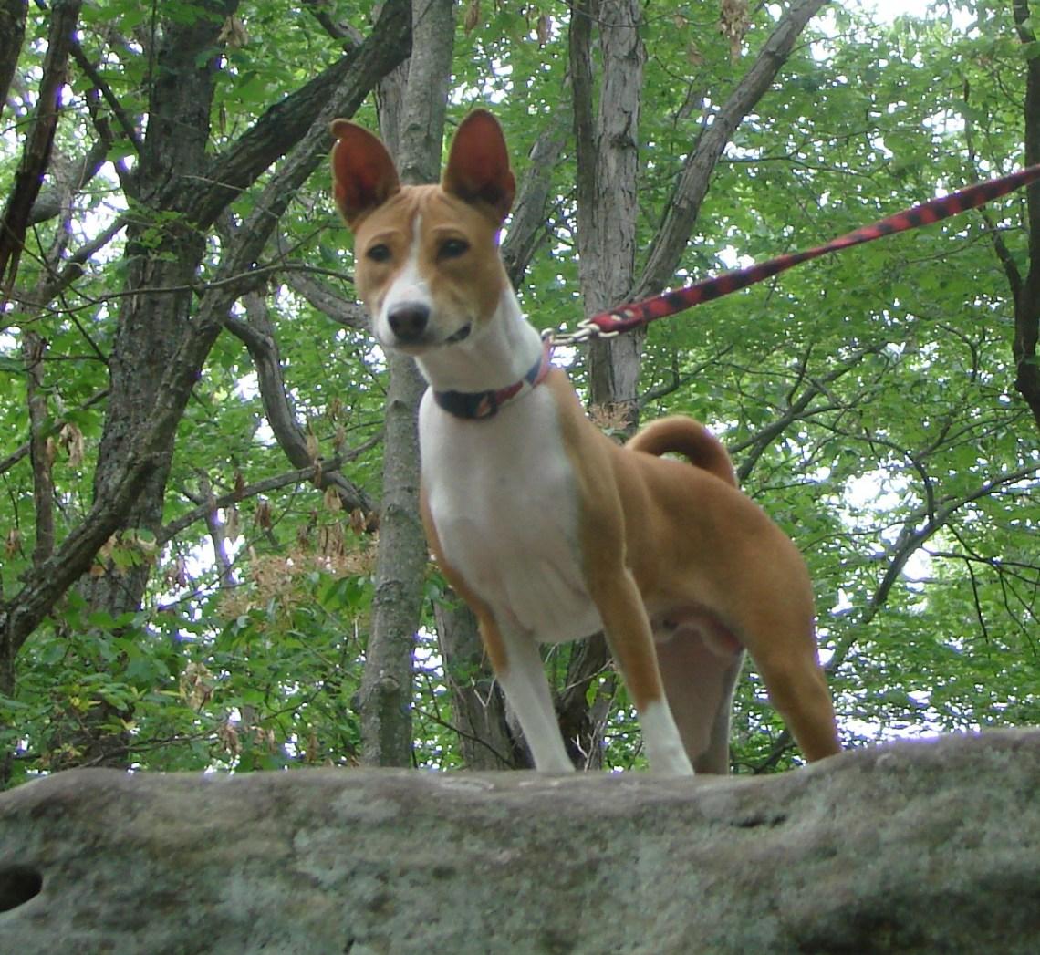 Benny Basenji Pitbull Dog History