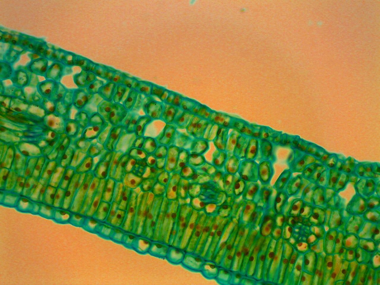 File Hydrophytic Leaf Cross Section Stained Microscope