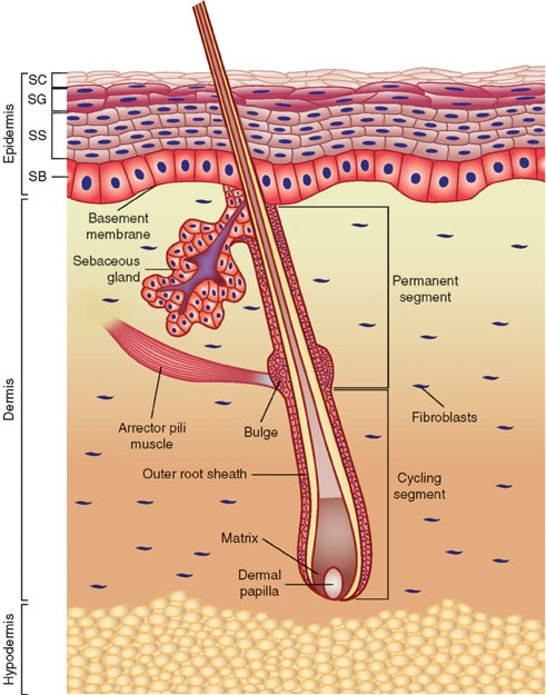 Anatomy of the skin from StemBook on Wikimedia Commons. Used under Creative Commons license. http://commons.wikimedia.org/wiki/File:Anatomy_of_the_skin.jpg