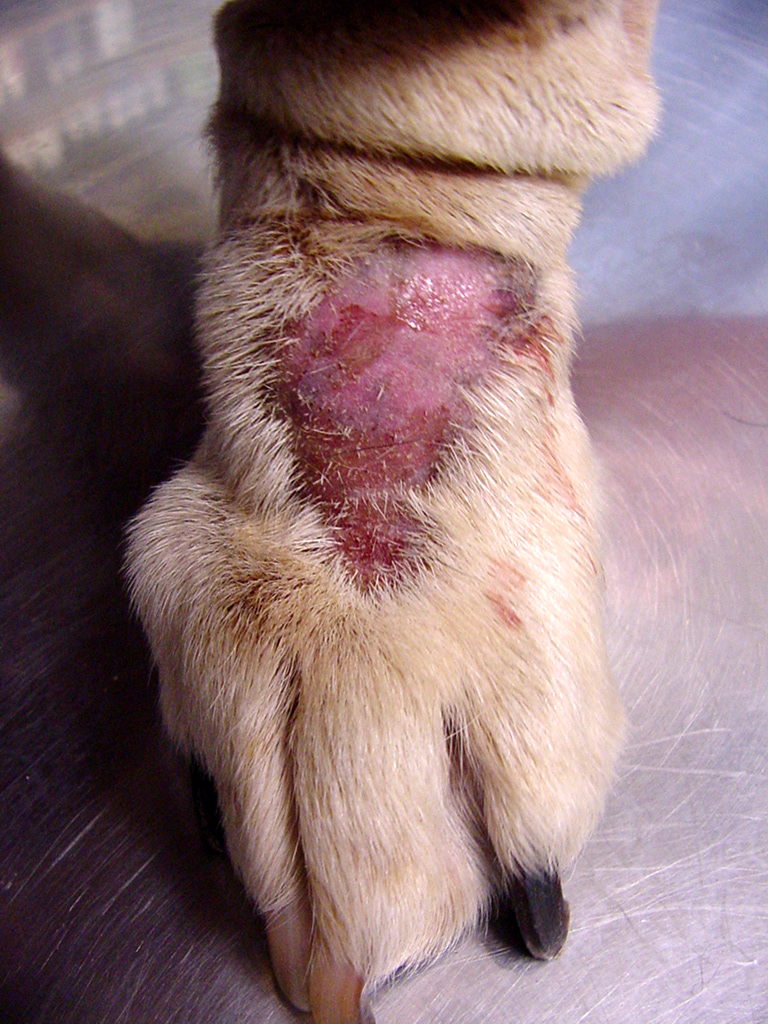 Infected dog Hot Spot