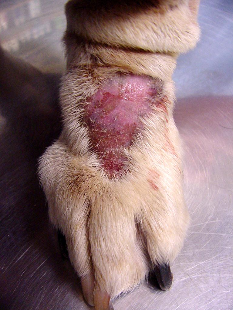 Infected dog Hot Spot