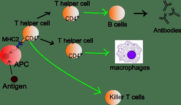 quelle: wikipedia - Das menschliche Immunsystem
