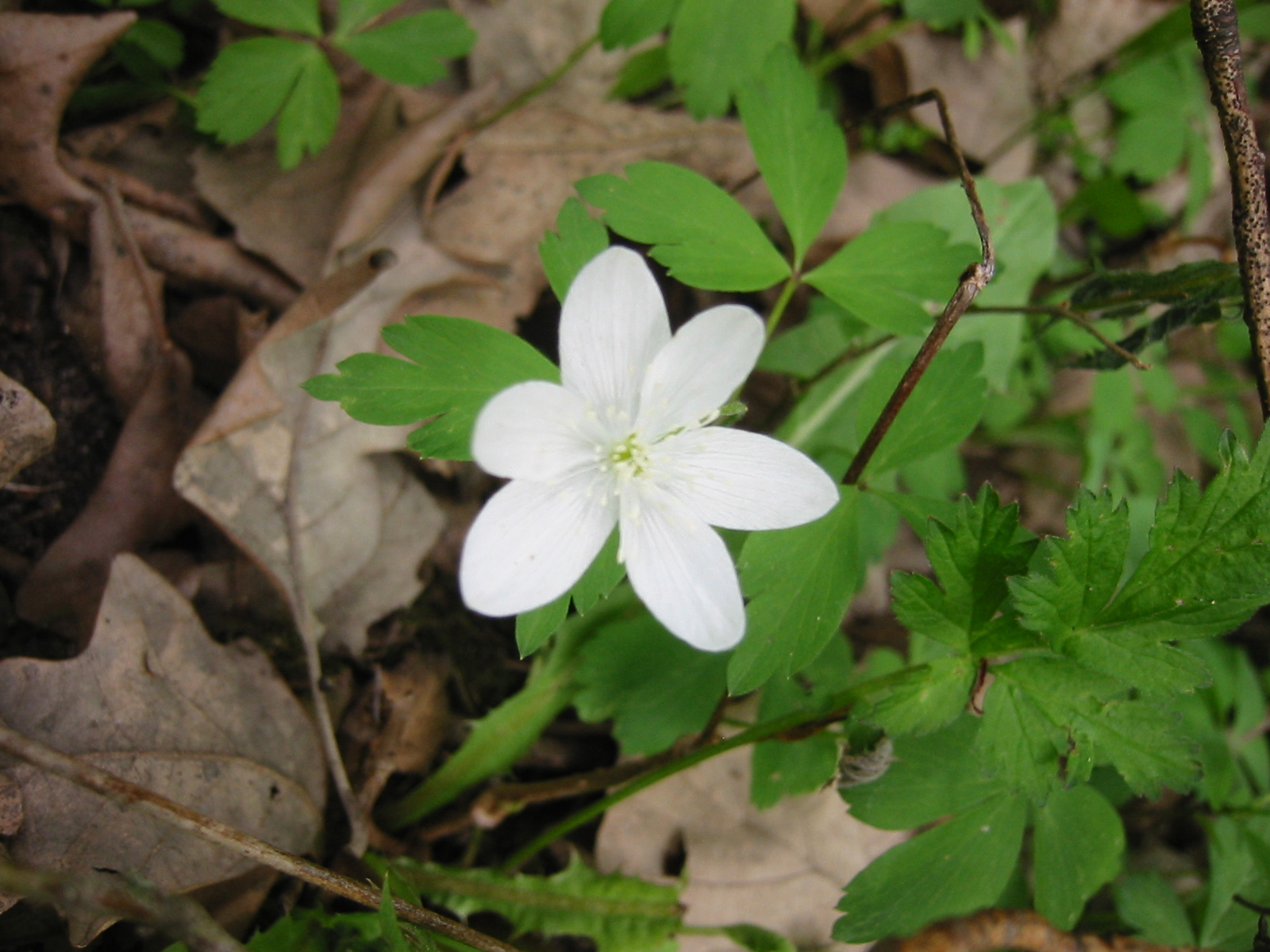 Michigan Wood Anemone, ephermeral layer