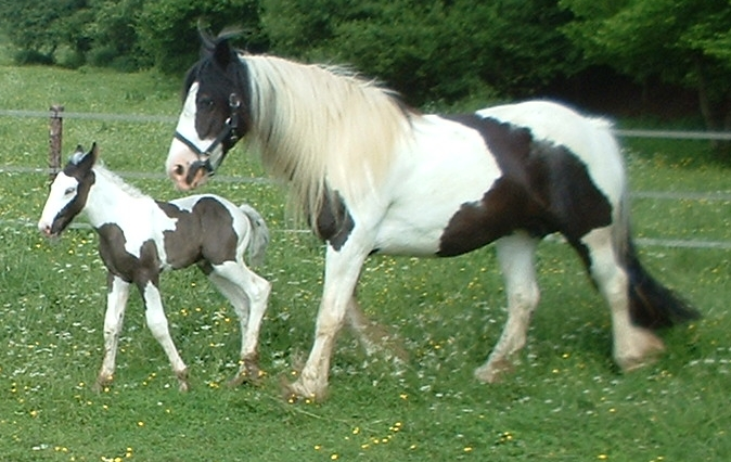 Gypsy Vanner Mare with Colt