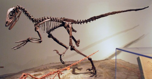 https://i2.wp.com/upload.wikimedia.org/wikipedia/commons/e/ed/FMNH_Deinonychus.JPG?resize=500%2C260&ssl=1