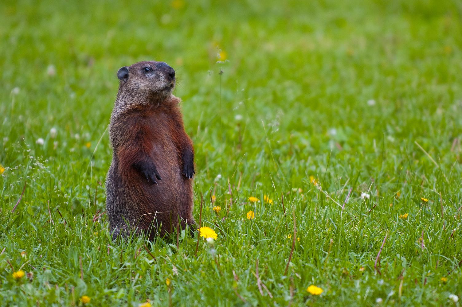 file groundhog standing2 jpg wikipedia