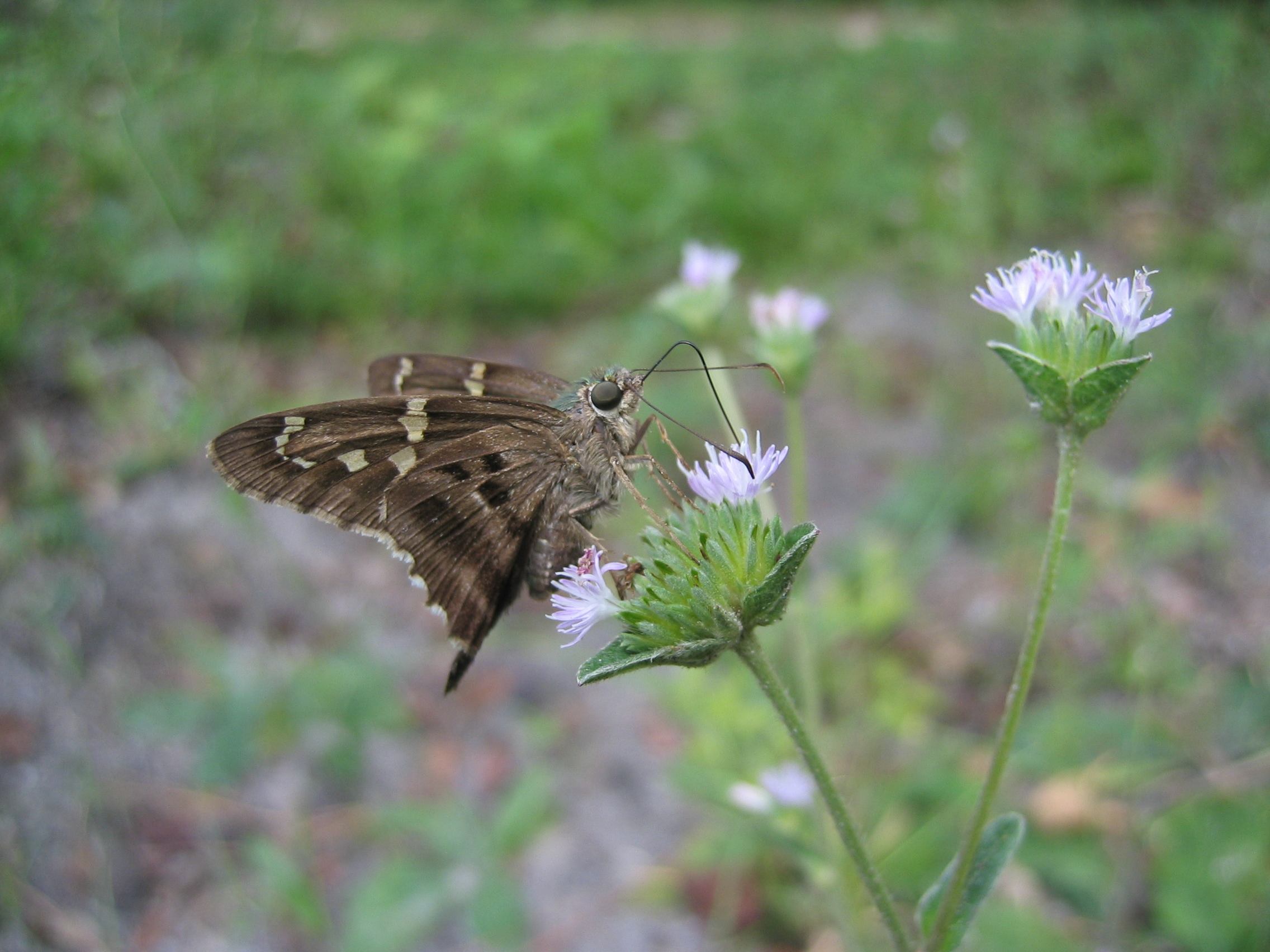 Butterfly Garden Long Tailed Skipper