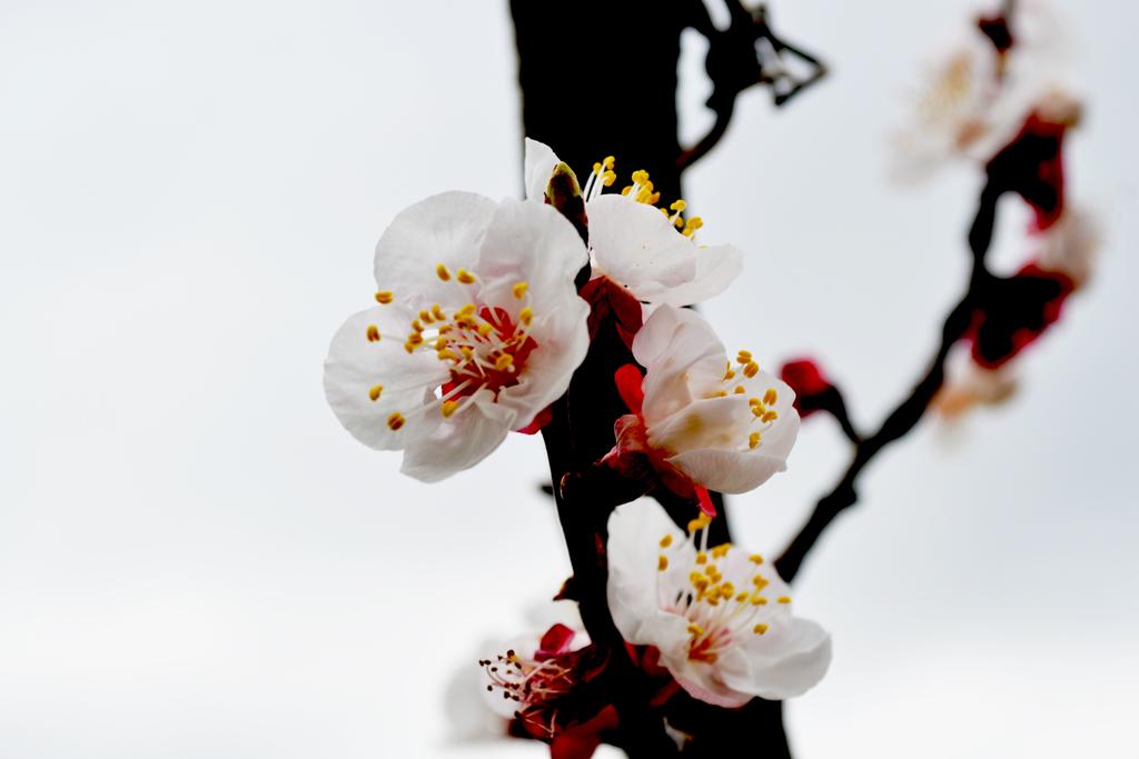Fiori d'albicocco