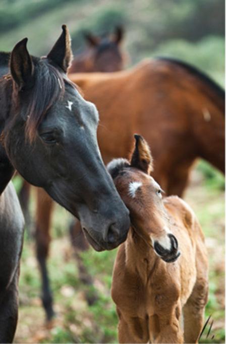 caballos-pura-raza-andaluz