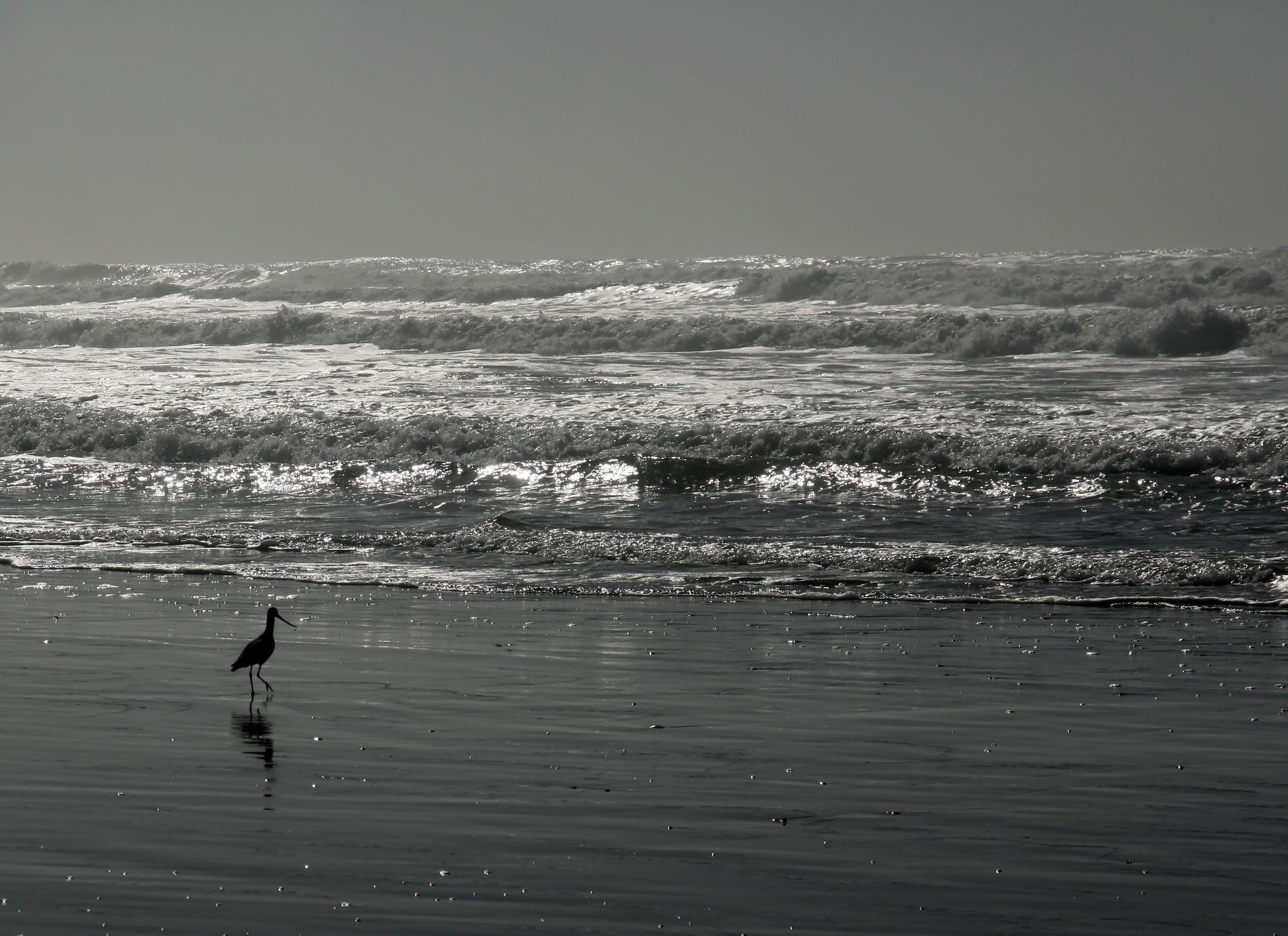 English: Limosa fedoa is walking at Ocean Beac...