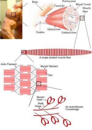Pathology Outlines  Skeletal muscle  normal