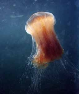 The Lion's mane jellyfish